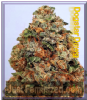 Big Head Dogstar Dawg Female 5 Marijuana Seeds